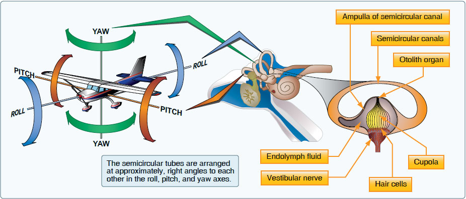Figure 17-3. The semicircular canals lie in three planes and sense motions of roll, pitch, and yaw.