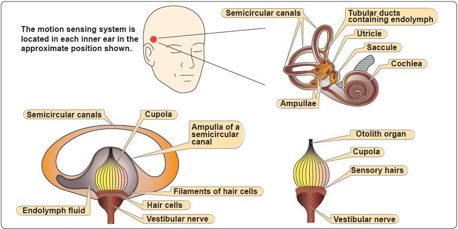Figure 3-3. Inner ear orientation.